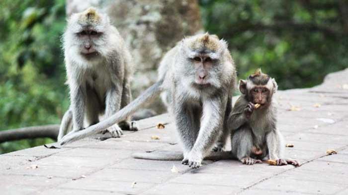 Kera di hutan wisata Wanagiri Buleleng