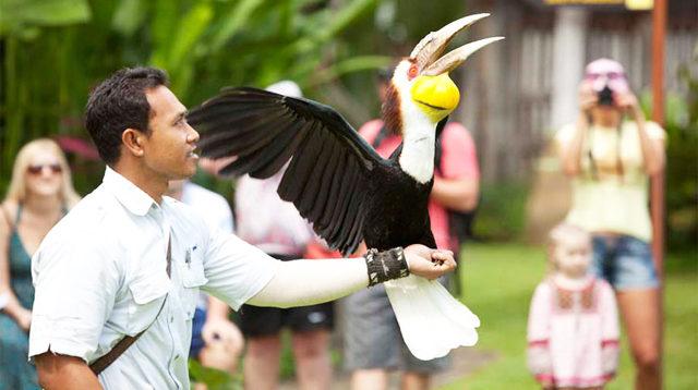 Salah satu aktivitas di Bali Bird Park