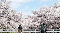Ilustrasi bunga sakura.