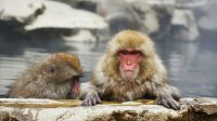 Monyet salju