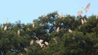 Koloni burung blekok